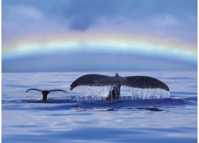 Puzzle Ravensburger Φάλαινες - Nature Edition - 500 κομμάτια